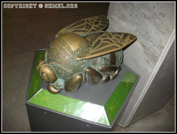 Шмель музейный