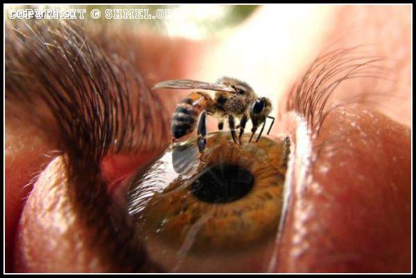 Пчела на глазе